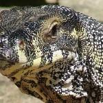 Lace monitor lizard
