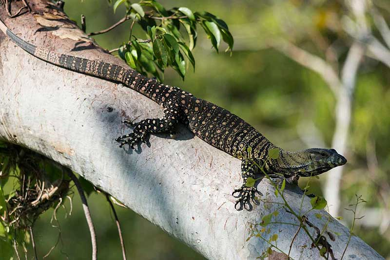 https://www.thalabeach.com.au/wp-content/uploads/2010/07/Lace-monitor-at-Thala.jpg