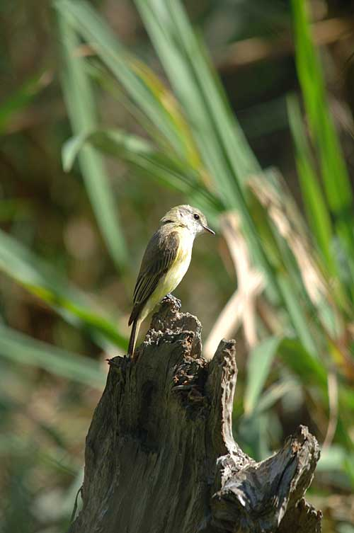 https://www.thalabeach.com.au/wp-content/uploads/2010/07/Lemon-bellied-Flycatcher.jpg