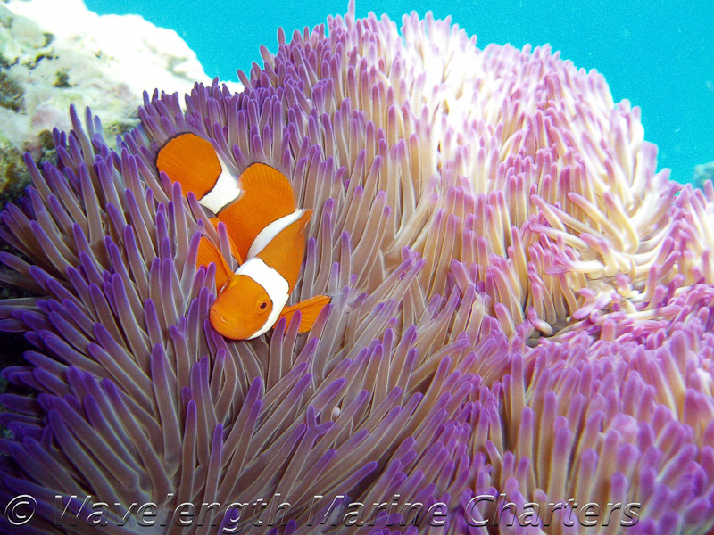 https://www.thalabeach.com.au/wp-content/uploads/2010/07/Nemo-Anemone-Fish-Close-Up.jpg