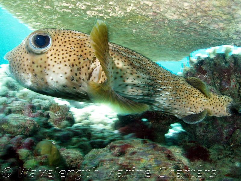 https://www.thalabeach.com.au/wp-content/uploads/2010/07/Porcupine-Puffer-Fish.jpg