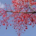 Qld Flame Tree at Thala