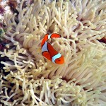 Queensland Clownfish