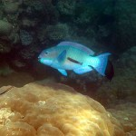 Reefcrest Parrotfish