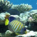 Regal Angelfish tropical fish