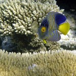 Regal Angelfish Great Barrier Reef