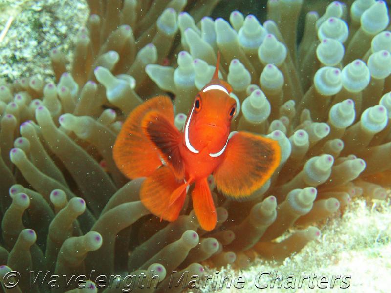 https://www.thalabeach.com.au/wp-content/uploads/2010/07/Spine-Cheeked-Anemone-Fish-Juvenile.jpg