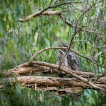 Papuan Frogmouth adult & chick