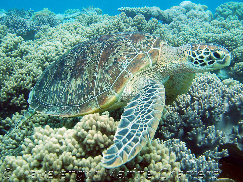 https://www.thalabeach.com.au/wp-content/uploads/2010/07/Turtle-above-Soft-Coral.jpg