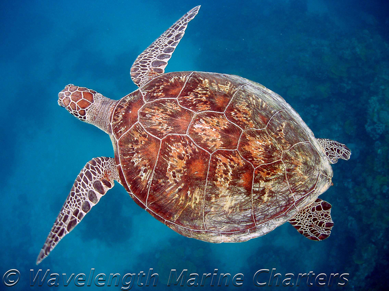 https://www.thalabeach.com.au/wp-content/uploads/2010/07/Turtle-in-Blue.jpg