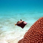 Unidentified Triggerfish