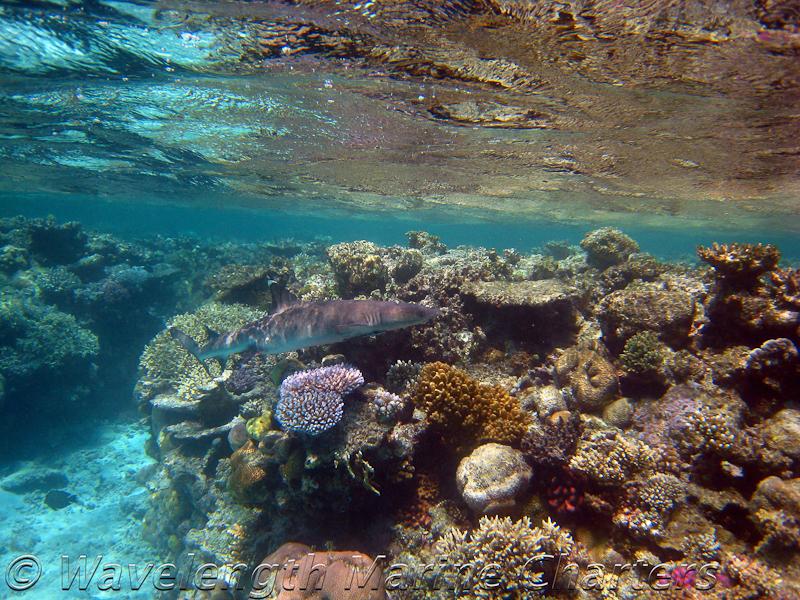 Whitetip Shark at Reef Edge