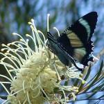 Zodiac Moth Feeding on gravillea
