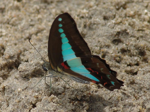 https://www.thalabeach.com.au/wp-content/uploads/2010/07/blue-triangle-butterfly_jpg_jpg.jpg