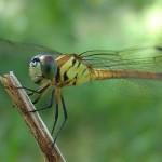 Dragonfly Portrait Thala