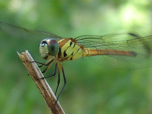 https://www.thalabeach.com.au/wp-content/uploads/2010/07/dragonfly-portrait.jpg