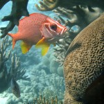 Giant Squirrelfish Great Barrier Reef Australia
