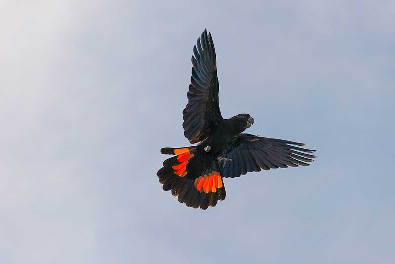 https://www.thalabeach.com.au/wp-content/uploads/2010/07/male-Red-tailed-Black-cockatoo.jpg