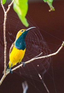 olive backed sunbird