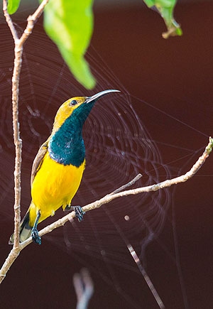 https://www.thalabeach.com.au/wp-content/uploads/2010/07/olive-backed-sunbird.jpg