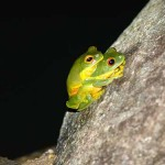 Red eyed green tree frog (also known as orange thighed frog)