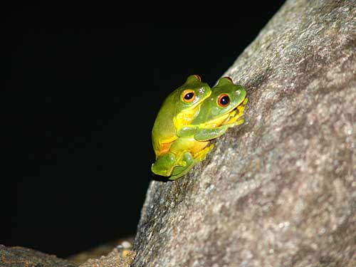 https://www.thalabeach.com.au/wp-content/uploads/2010/07/orange-thighed-frog.jpg