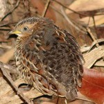 Red backed button quail