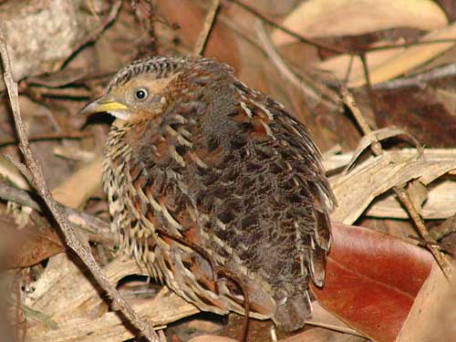 https://www.thalabeach.com.au/wp-content/uploads/2010/07/red-backed-button-quail.jpg