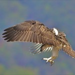 Thala Beach Lodge Ospreys