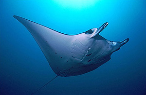 Manta Ray Great Barrier Reef Australia