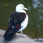 Burdekin Duck