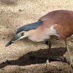 Rufous Night Heron
