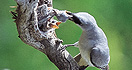 Birdwatching Australia