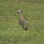 bush stone curlew single
