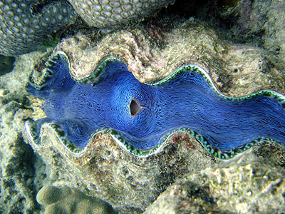 giant clam the great barrier reef