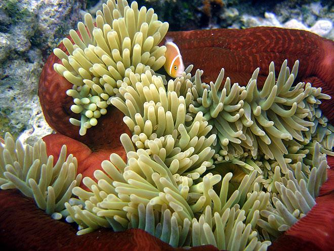 https://www.thalabeach.com.au/wp-content/uploads/2012/06/pink-anemonefish.jpg