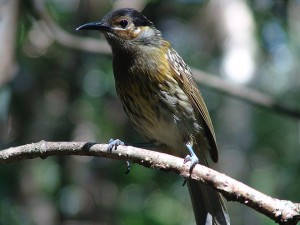 mccleays honeyeater in Far North Queensland
