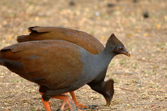 https://www.thalabeach.com.au/wp-content/uploads/2012/07/orange-footed-scrubfowl.jpg