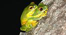 Orange Thighed Frog
