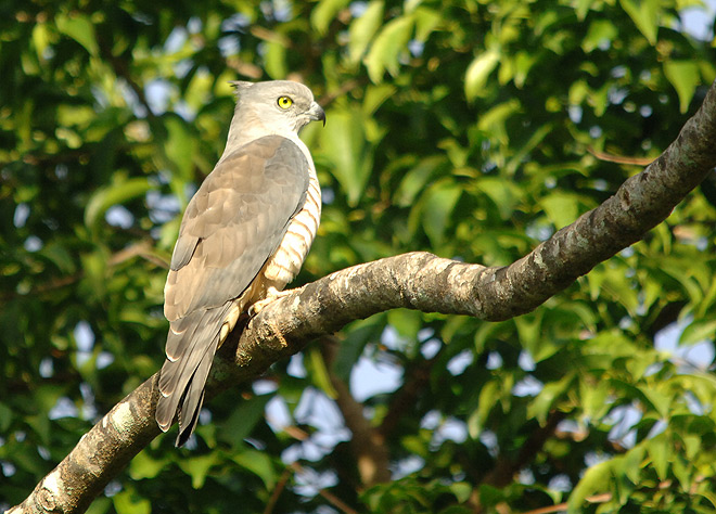 crested hawk at Thala Beach Lodge