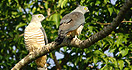 Crested Hawks