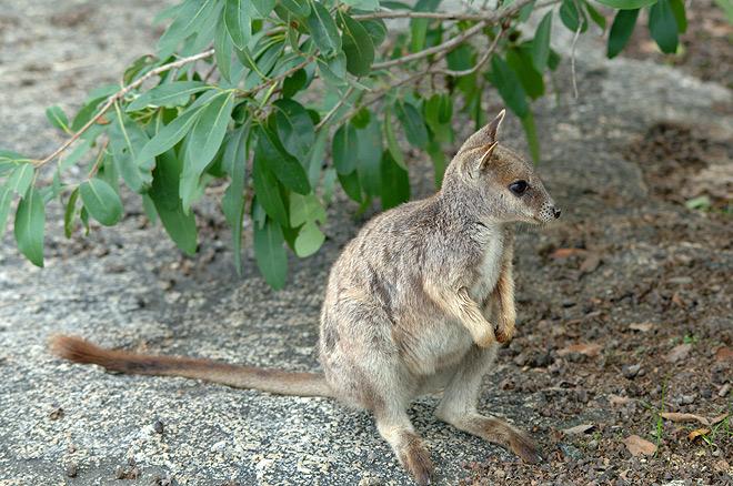 rock wallaby 2