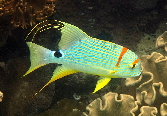 sailfin snapper great barrier reef