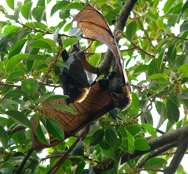 spectacled flying fox australia