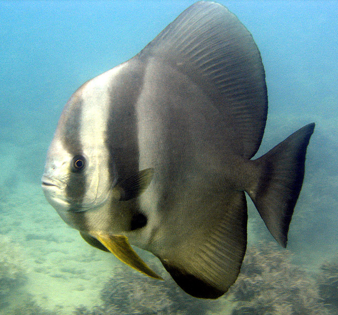 Batfish at Low Isles Great Barrier Reef Australia