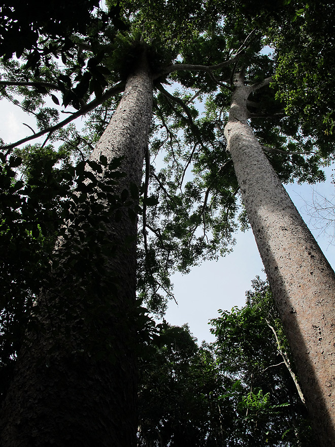 kauri pine australia