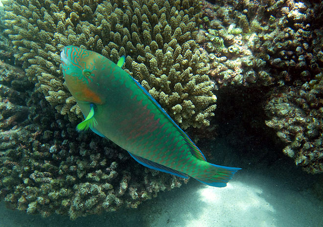 Parrot Fish Great Barrier Reef Australia