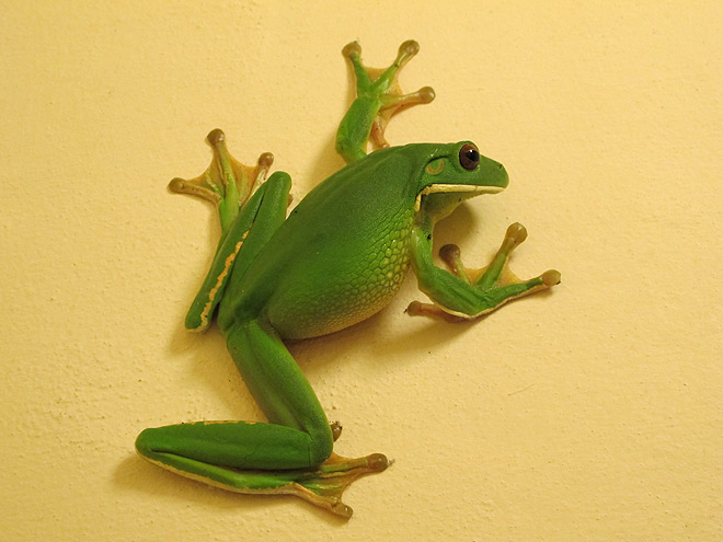 https://www.thalabeach.com.au/wp-content/uploads/2012/09/white-lipped-tree-frog.jpg