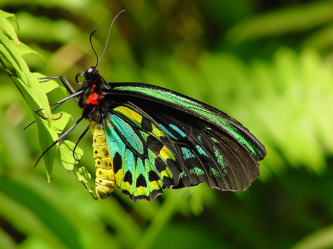 https://www.thalabeach.com.au/wp-content/uploads/2012/11/cairns-birdwing-butterfly.jpg