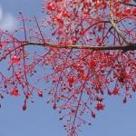 flame tree Australia
